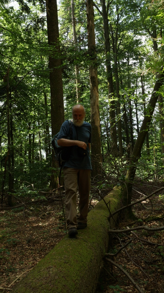 Tomaz walking along one the recently fallen beech trees